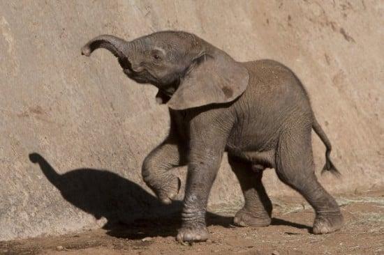 Elephants Animal Animals Calf: PSA: The San Diego Zoo Has An Adorable New Baby Elephant