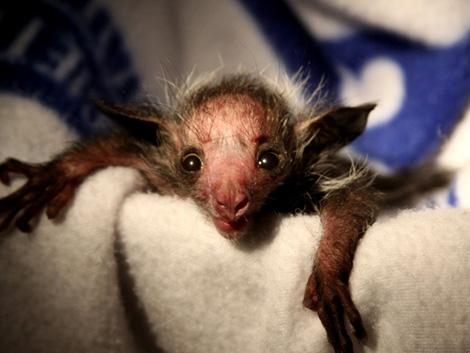 Baby aye aye lemur - photo#9