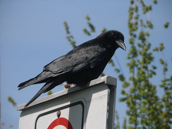 intelligent crows research paper Clever crows, complex cognition but new research suggests that the brainy birds may be even smarter than was artificial intelligence faces reproducibility.