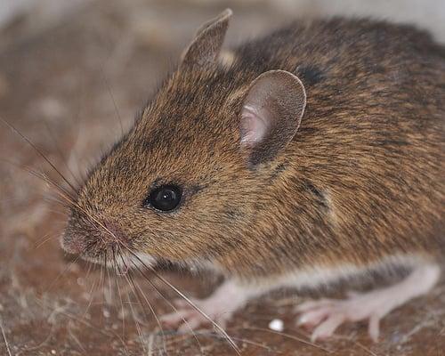 Why rats can't vomit  Rat Vomit