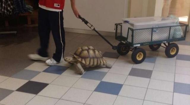tortoisewalking