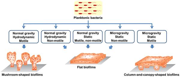 biofilm diagram plosone