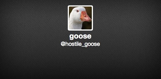 hostile goose