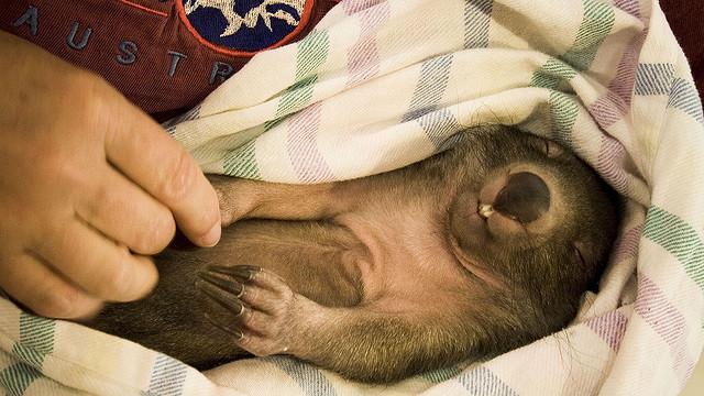 babywombat1