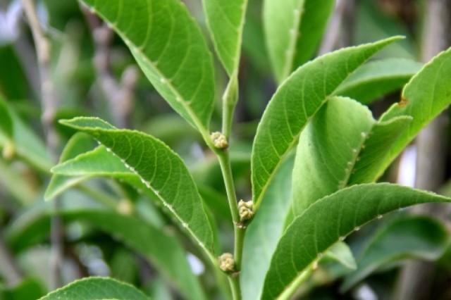 Αυτό το φυτό μπορεί να αποθηκεύει τεράστιες ποσότητες νικελίου στα φύλλα του.