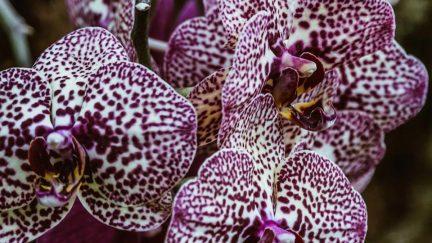 orchid gynecologist vagina purple