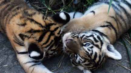 Two 45-day-old bengal tiger cubs cuddle.