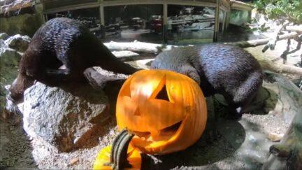 otters enjoy a jackolantern treat