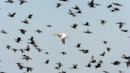 migrtory birds in flight