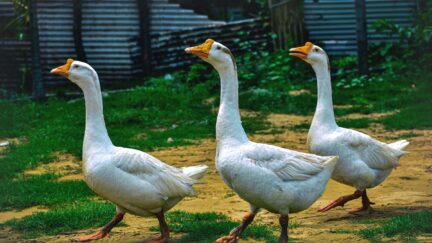 Three cocky geese strut by